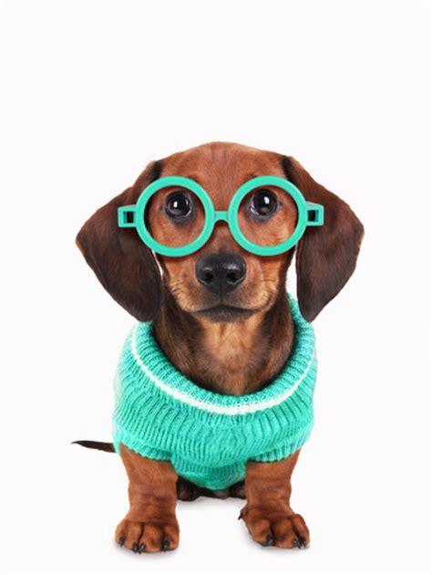 adorable   dogs wearing glasses blazepress