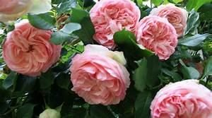 Faire Un Parterre De Galets : quelle plante au pied d un rosier petit paysagiste ~ Dailycaller-alerts.com Idées de Décoration