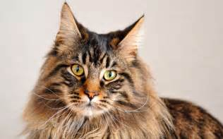 maine coon cats for freshening your maine coon cat s breath vets help