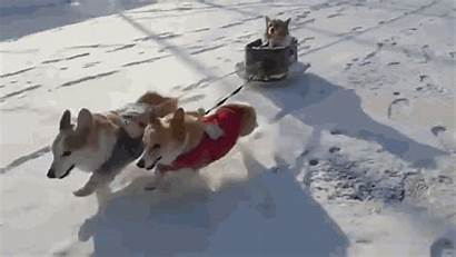 Snow Funny Gifs Snowing Tenor Corgi Shovel