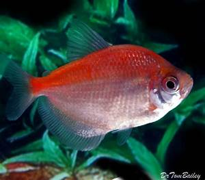 Skirt Tetra for Sale - AquariumFish.net