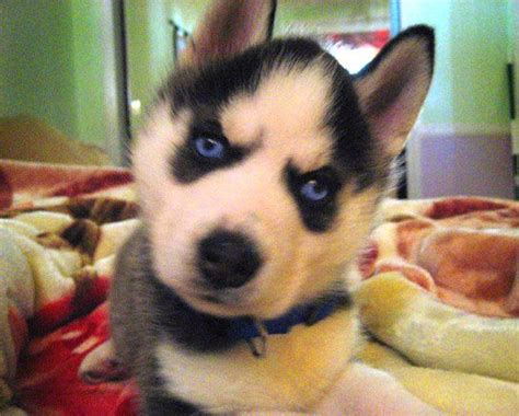 huskies that dont shed small dogs that don t shed an apple a day keeps the