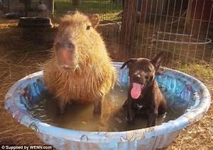 Dog and capybara : aww