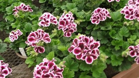 how to grow geranium how to grow geraniums indoors or outdoors which plants best suits martha washington geranium
