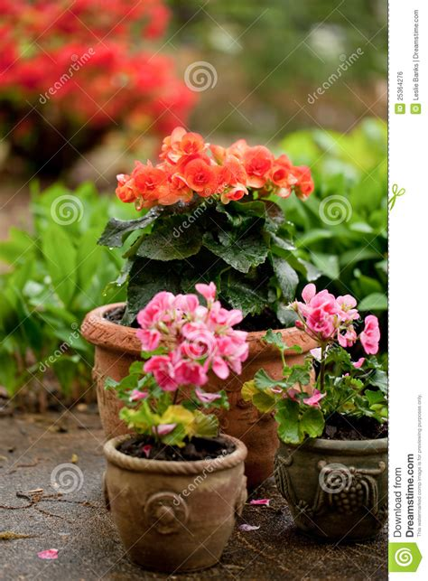 begonias in pots royalty free stock image image 25364276