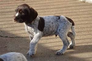 German Wirehaired Pointer Puppy For Sale.   Jedburgh ...
