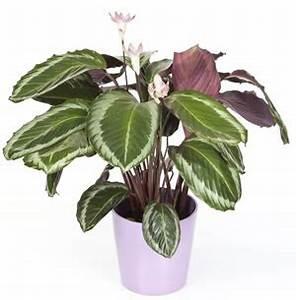 Pflege Von Zimmerpflanzen : korbmarante calathea pflege sorten ~ Markanthonyermac.com Haus und Dekorationen