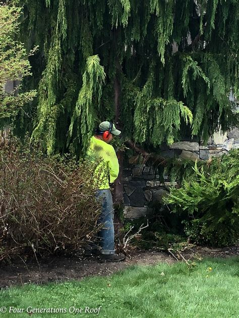 Removing Trees From Backyard by Removing The Alaskan Cedar Tree In Our Front Yard Before