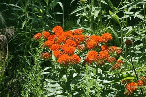 Butterfly Weed (asclepias Tuberosa  Illinois Native