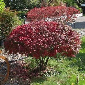 Die Schönsten Gartenbäume : 24 besten b ume bilder auf pinterest pflanzen kleine ~ Michelbontemps.com Haus und Dekorationen