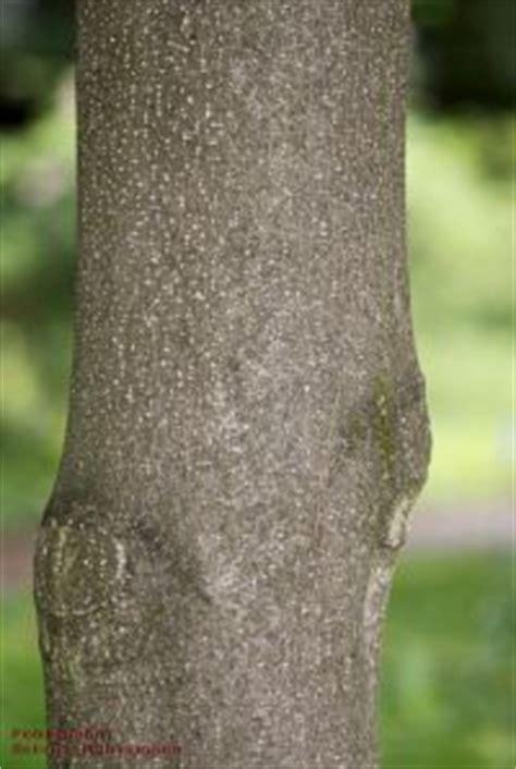 honoki magnolie details baumbestimmung laubhoelzer