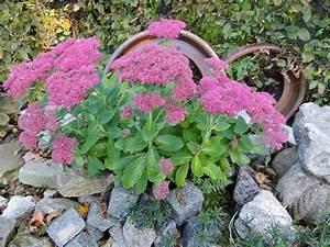 Fette Henne Sorten : fette henne sedum spectabile ist eine ideale steingartenpflanze 130928 ~ Markanthonyermac.com Haus und Dekorationen