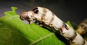 Silkworm Update 3