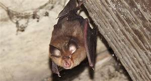 Repulsif Chauve Souris Efficace : souris dans une maison good pige cologique souris et rat faire soimme with souris dans une ~ Melissatoandfro.com Idées de Décoration