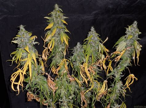 indoor tree strain gallery northern light homegrown fantaseeds pic