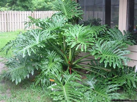 tropical plants with large leaves large leaf tropical plant google search landscape ideas pinterest beautiful tropical