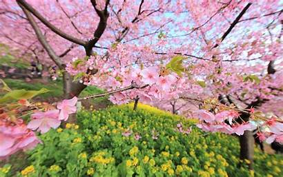Cherry Wallpapers Blossom Desktop Cave