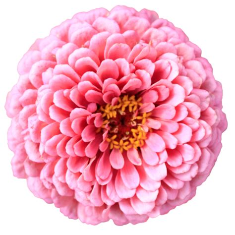 Flower No Background Pink Chrysanthemum Flower Top View Without Background Sf