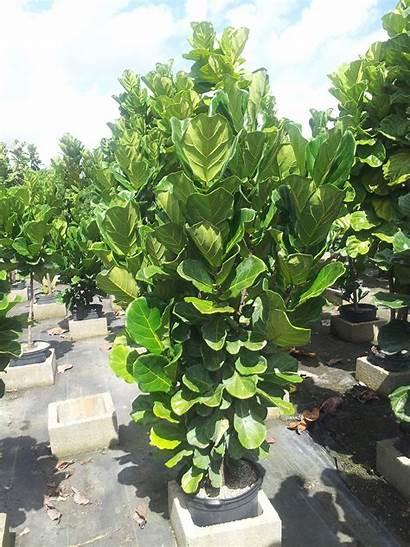 Ficus Lyrata Bush Plants Pot Inch Plant