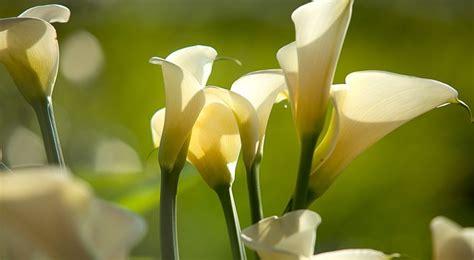 cuisine couleur vanille arum semis entretien culture et arrosage