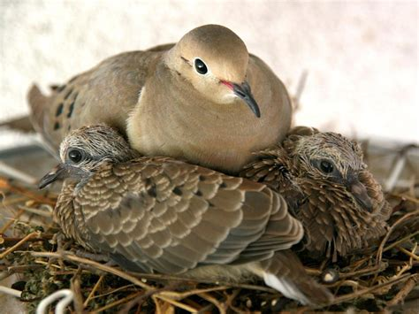 mourning doves used to be common around our house in the