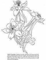 Columbine Tattoo Coloring Drawings Yellow Photobucket Tattoos Drawing S39 Sketches sketch template