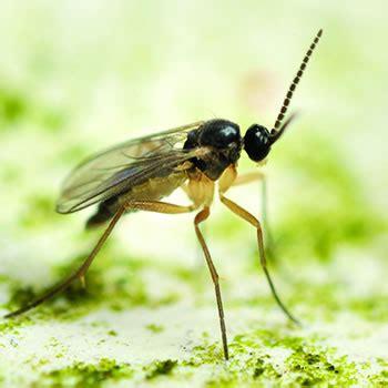 fungus gnat control removal of fungus gnats catseye