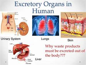 Important Excretory Organs In Man U0026 39 S Body  U0026 Structure Of