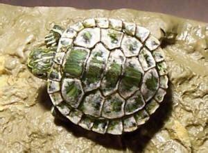 res turtle shell shedding turtshelrotf7