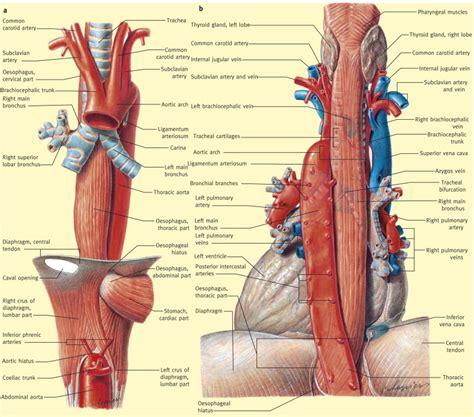 anatomy   oesophagus surgery oxford international