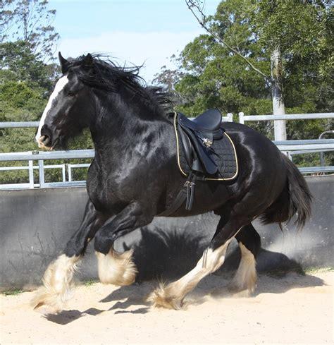 shire da horse stallion stud vinci darkmoor breeding semen stallions chilled stands him both information