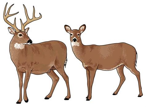white tailed deer clipart   cliparts