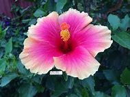 Pink Flower Yellow Hibiscus