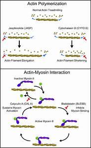 Perturbation Of Actin Polymerization Or Actin