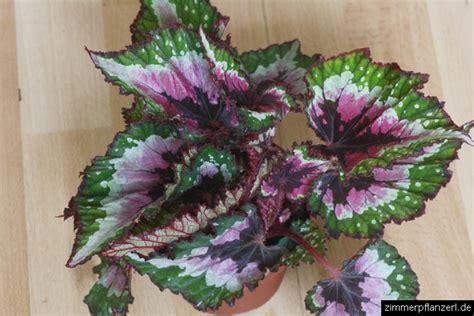 Zimmerpflanzen Datenbank Koenigsbegonie by Blattbegonie Begonia Rex
