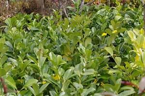 Plantes à Feuillage Persistant : plantes de haie p pini res louis brasseur ~ Premium-room.com Idées de Décoration