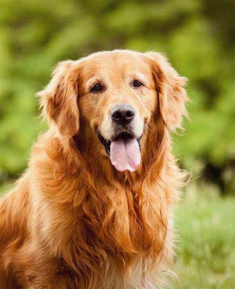 Golden Retriever Dog Breed Information The Happy Puppy Site