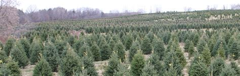 awesome picture of christmas tree farms ontario fabulous