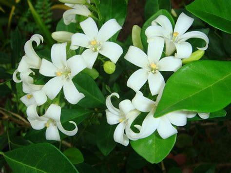tanaman penangkal sihir hitam hantu santet