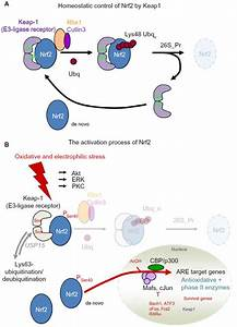 "[Full text] Cytoprotection ""gone astray'': Nrf2 and its ..."