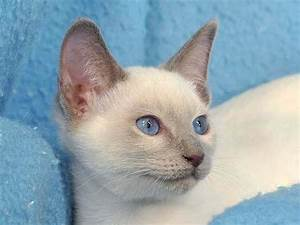 Siamese Lilac Point | www.pixshark.com - Images Galleries ...