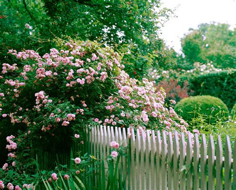 when to trim climbing roses pruning climbing roses