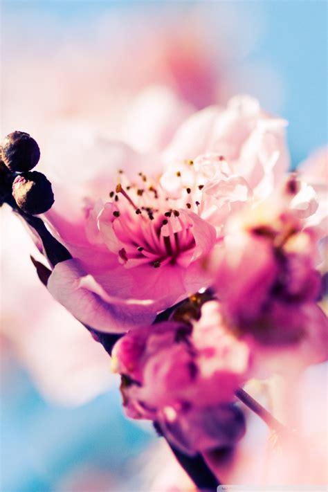 beautiful cherry blossom  hd desktop wallpaper