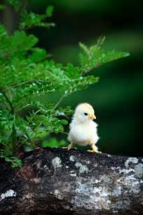 Spring Cute Baby Chicks