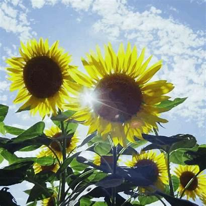Girassol Belas Flores Encantadoras
