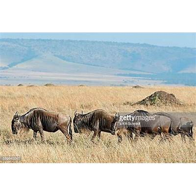 Blue Wildebeest Stock Photos and PicturesGetty Images