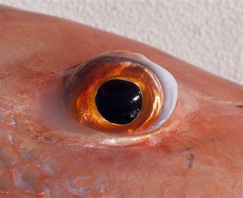 snapper eye fishing closeup