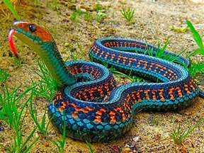 Central Carpet Python by California Red Sided Garter Snake Pics