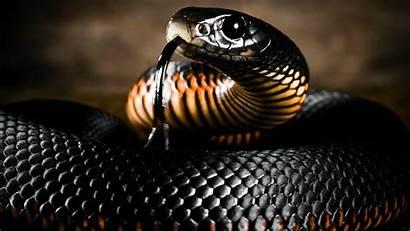 Snake Cobra King Wallpapers Wallpapercave Cave
