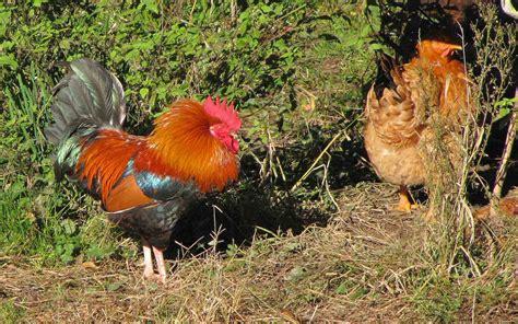 volatili da cortile gallo ringalluzzito forum natura mediterraneo forum